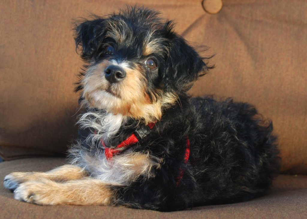 Yorkie Poo Guide Breed Temperament