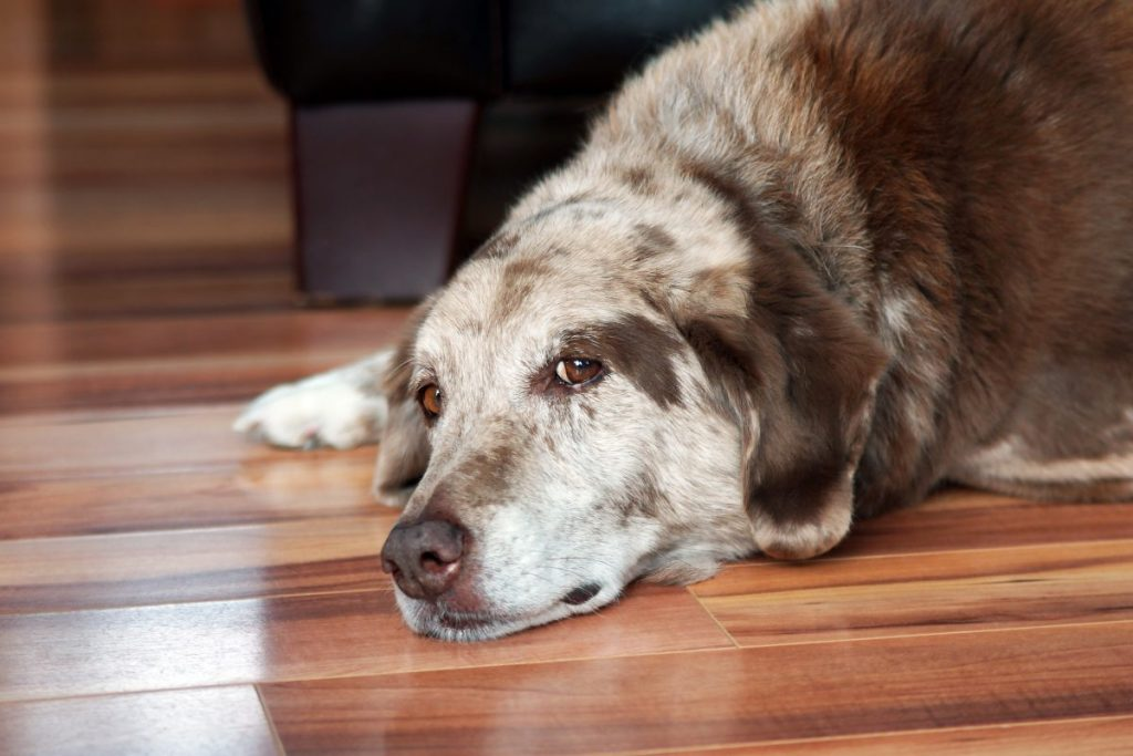 Urinary Incontinence in Senior Dogs