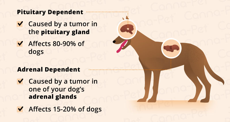 Cushing's Disease in Dogs | Canna-Pet