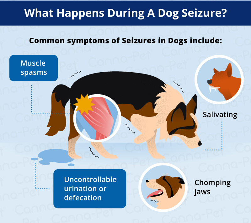 What happens during a dog seizure?