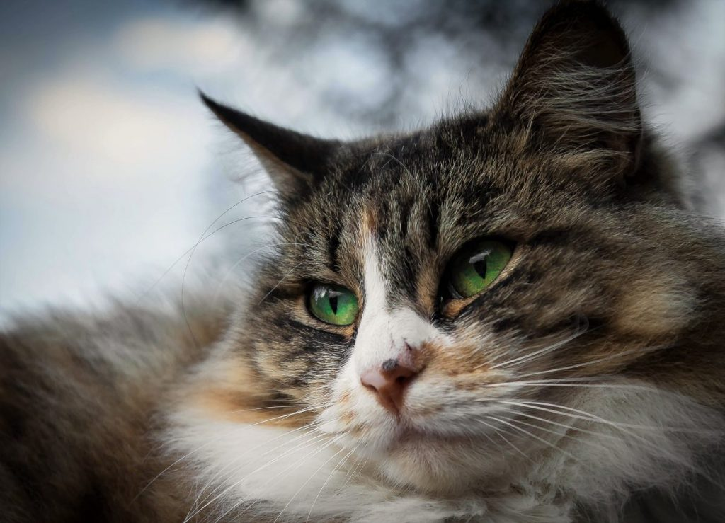Cat Eye Infection: Recognize the Signs | Canna-Pet