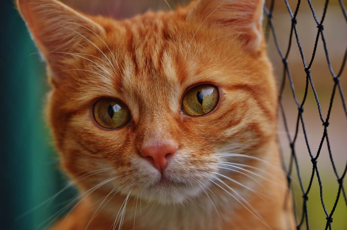 causes-of-cat-bad-breath-canna-pet