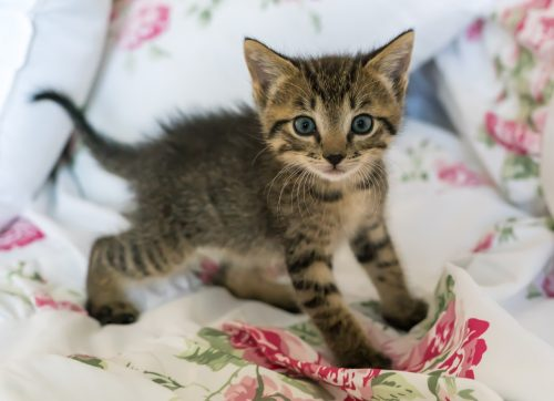 causes-of-kitten-coughing-canna-pet
