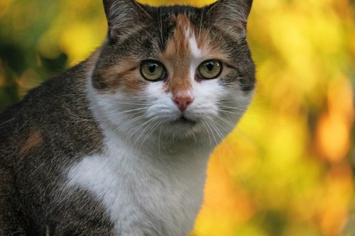 feline-cataracts-canna-pet