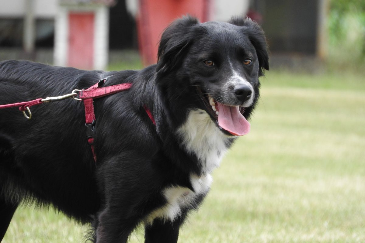 how-to-stop-dog-from-pulling-on-leash-canna-pet