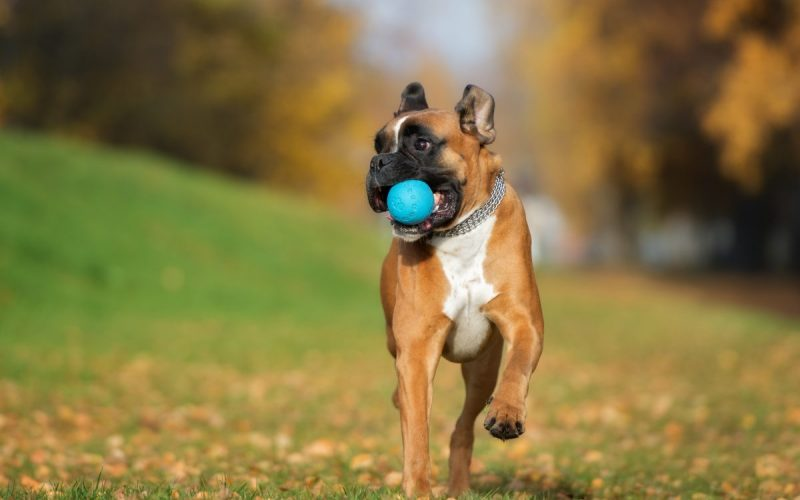how-to-teach-your-dog-to-play-fetch-canna-pet