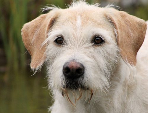 irish wolfhound family friendly_canna-pet