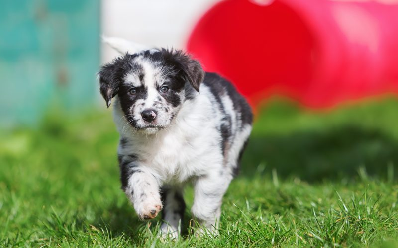 are australian shepherds hypoallergenic_canna-pet