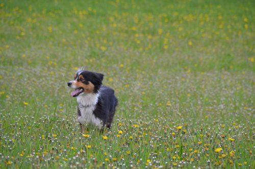 australian shepherd temperament_canna-pet