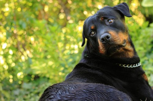common rottweiler health issues_canna-pet