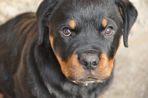 Rottweiler Health Issues And Problems Canna Pet