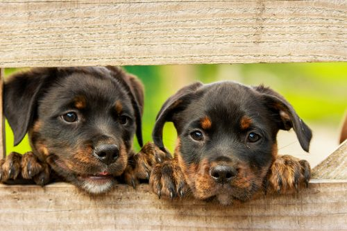 rottweiler behavior_canna-pet