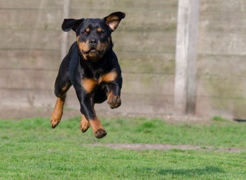 rottweiler health problems_canna-pet