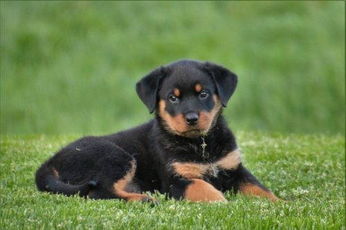 rottweiler personality and temperament_canna-pet