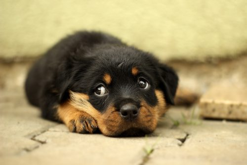 rottweiler personality_canna-pet