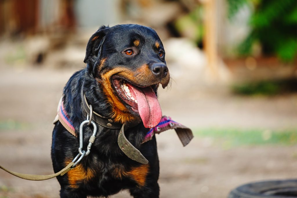 Image of: Service Dog Rottweiler Temperament And Personalitycannapet Certapet Rottweiler Temperament Personality Traits Cannapet