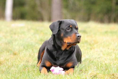 Image of: Vest Brief History Of Rottweiler Dogs Rottweiler Temperamentcannapet Way Cool Dogs Rottweiler Temperament Personality Traits Cannapet