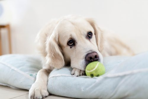 causes of autoimmune disease in dogs_canna-pet