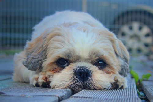 shih tzu health issues