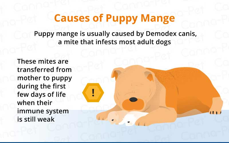causes of puppy mange