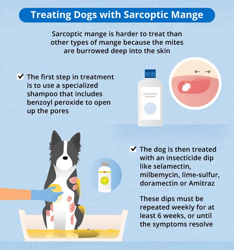 treating dogs with sarcastic mange