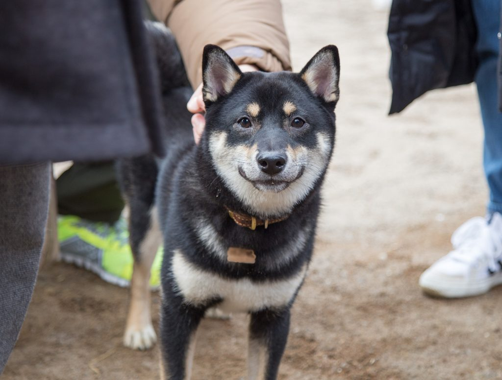 Shiba Inu Health Problems And Issues Canna Pet