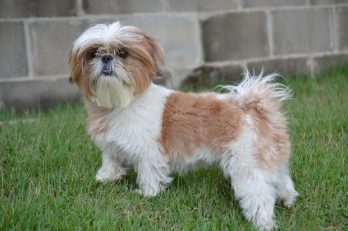 shih tzu characteristics shih tzu temperament and personality canna pet 174 746