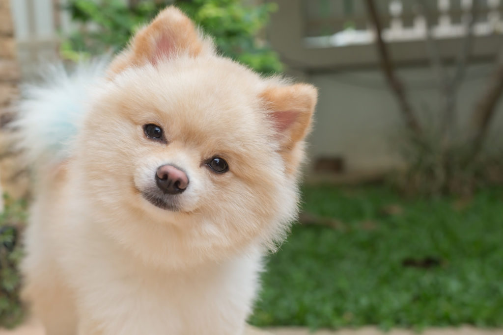 Common Pomeranian Health Issues Canna Pet