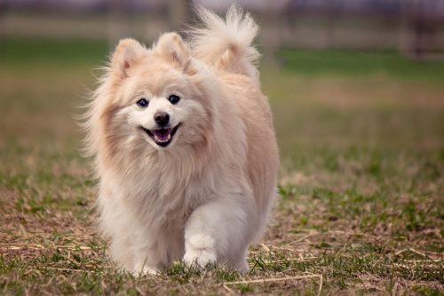 health issues of pomeranians