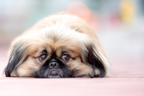 obesity in dogs_canna-pet