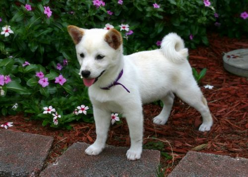 A Guide To Shiba Inu Training Canna Pet