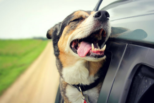 dog anxiety in car rides_canna-pet