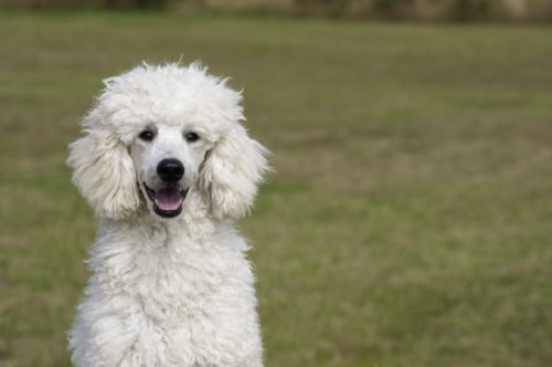 Poodle Health Issues Problems Canna Pet