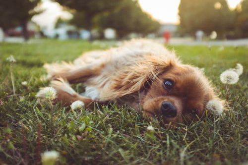 prednisone for dogs side effects_canna-pet