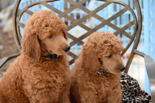 Poodle Temperament & Personality | Canna-Pet®