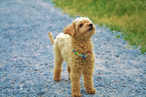 side effects of prednisone for dogs_canna-pet