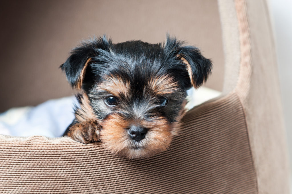 are yorkies hypoallergenic_canna-pet