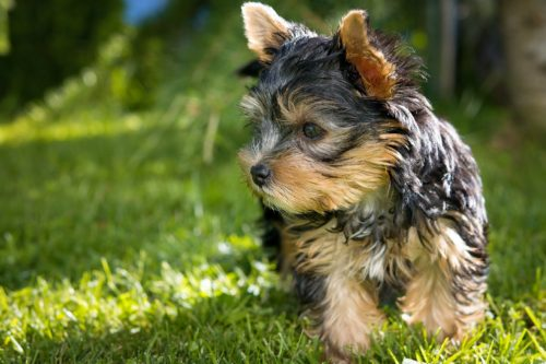 yorkshire terrier temperament