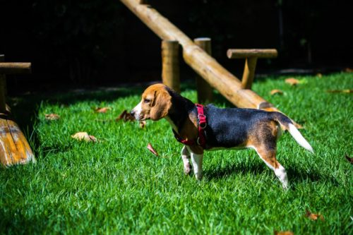 temperament of a beagle