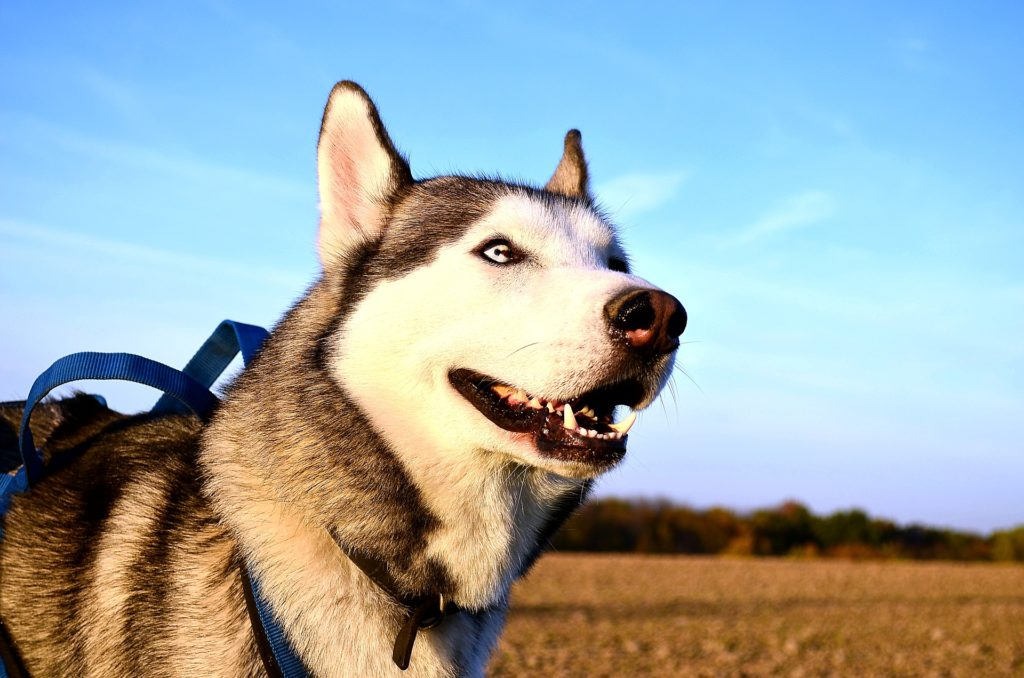 Siberian Husky Health Problems Issues Canna Pet