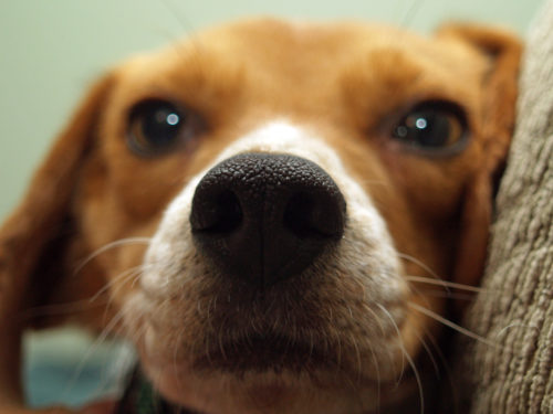 beagle personality traits