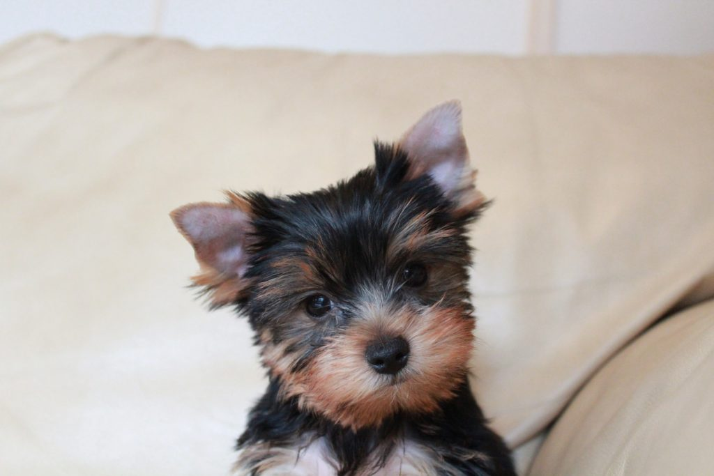 How To Train A Yorkie Canna Pet