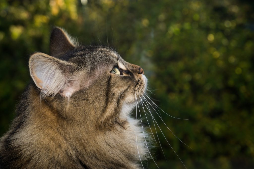 side effects of prednisone for cats_canna-pet