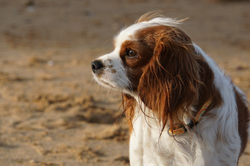 tramadol for dogs common side effects_canna-pet