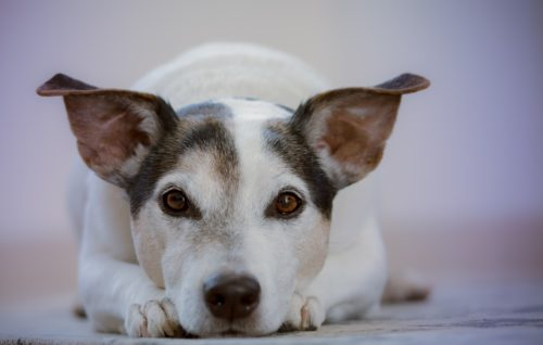 tramadol for dogs side effects_canna-pet