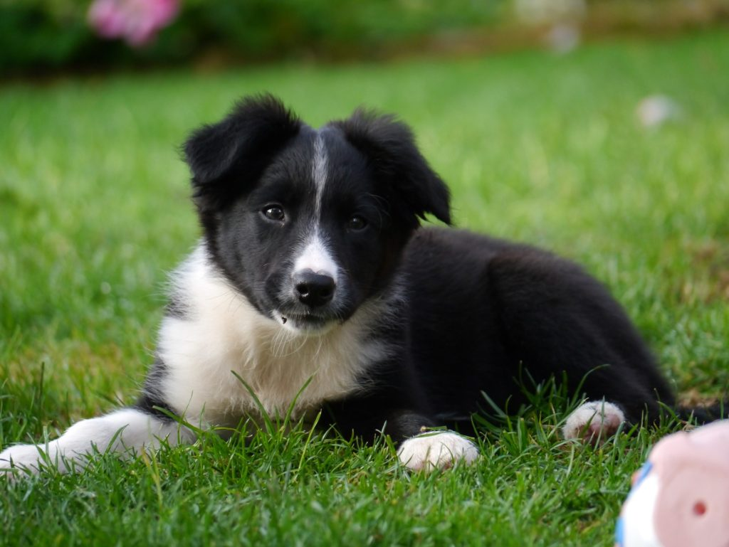 10 dog breeds prone to separation anxiety_canna-pet