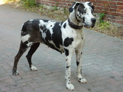 great dane personality traits