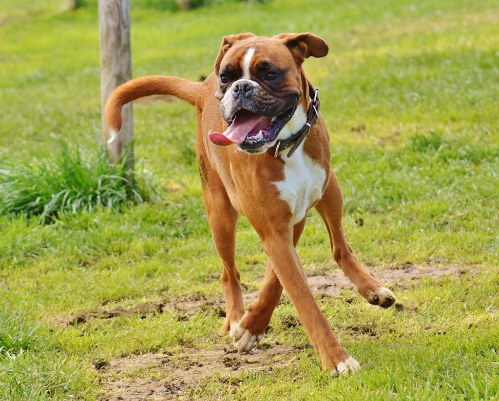 Are Boxers Good Family Dogs