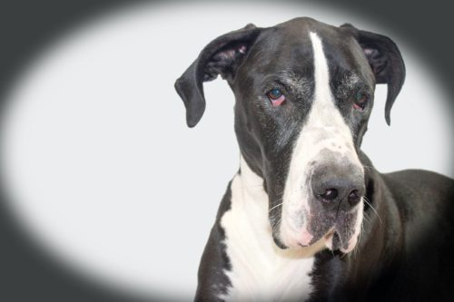 health issues of great danes