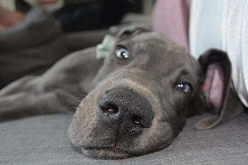 great dane puppy food recommendations
